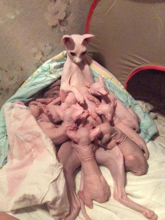 Фото сфинкс беременной